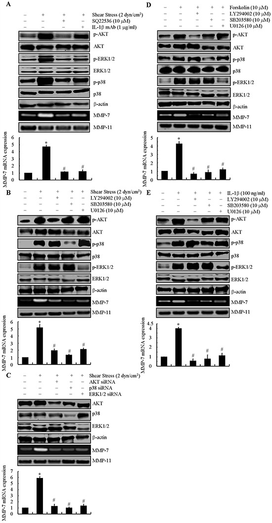 Involvement of cAMP and IL-1β in mediating fluid shear stress to regulate the synthesis of MMP-7 via AKT, ERK1/2 and p38 signaling pathways in SW1353 cells SW1353 cells were subjected to fluid shear stress (2 dyn/cm 2 ) or static conditions (0 dyn/cm 2 ) in the absence or presence of adenylyl cyclase inhibitor, SQ22536 (10 μM) or IL-1β mAb (1 μg/ml) for 48 h (A) In select experiments, SW1353 cells were exposed in shear stress (2 dyn/cm 2 ) (B) , forskolin (10 μM) (D) or IL-1β (100 ng/ml) (E) in the absence or presence of LY294002 (10 μM), SB203580 (10 μM) or U0126 (10 μM) for 48 h. In separate experiments, SW1353 cells were transfected with siRNAs targeted to AKT, p38 or ERK1/2 before subjecting to fluid shear stress (2 dyn/cm 2 ) (C) Phosphorylated AKT, ERK1/2 and p38 are shown by immunoblotting using specific Abs. Equal loading in each lane is ensured by the similar intensities of total AKT, ERK1/2, p38 and β-actin. These western blots are representative of three independent experiments, all revealing similar results. MMP-7 mRNA and protein levels were determined by qRT-PCR and zymography, respectively. GAPDH and MMP-11 total protein amount served for internal control in qRT-PCR and zymography assays, respectively. Data represent the mean ± S.E. of 3 independent experiments. * p