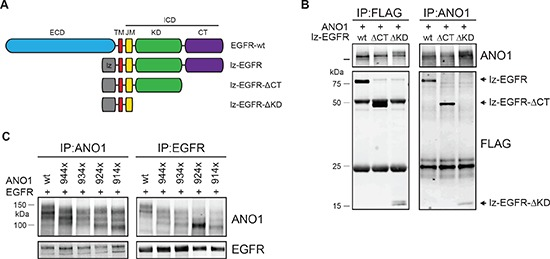 Interaction between ANO1 and EGFR involves the trans/juxtamembrane domain of EGFR (A) Schematic of the EGFR-constructs tested for interaction with ANO1. (B) Immunoprecipitation of ANO1 and FLAG-tagged truncation variants of lz-EGFR in HEK293T cell lysates. HEK293T cells were transfected with equal amounts of plasmids encoding ANO1 and lz-EGFR-variants. EGFR/ANO1 complexes were analyzed by immunoprecipitation using an anti-ANO1 or anti-FLAG antibody coupled to magnetic beads and immunoblotting of the eluted proteins. Representative immunoblots are shown. (C) Immunoprecipitation of lz-EGFR and ANO1 truncation variants in HEK293T cell lysates. HEK293T cells were transfected with equal amounts of plasmids encoding lz-EGFR and ANO1-variants and ANO1/lz-EGFR complexes were analyzed as in Figure 2B . The multiple bands for ANO1 represent different glycosylation variants of ANO1 [ 39 ].