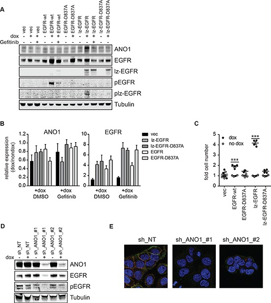 EGFR and ANO1 regulate each other's protein levels (A) Immunoblot of EGFR, phospho-EGFR and ANO1 protein levels in Te11 cells stably expressing dox-inducible expression constructs for EGFR-wt, -D837A, lz-EGFR or lz-EGFR-D837A or an empty vector control, in the presence or absence of dox (48 h) and Gefitinib (1 μM, 24 h). Tubulin served as a loading control. Representative immunoblots are shown. (B) Relative mRNA levels of EGFR and ANO1 in the same samples as used in A. mRNA-levels in dox-treated samples were normalized to the respective non-dox treated sample and are presented as the mean ± SEM of three independent experiments. (C) Relative cell proliferation of Te11 cells stably expressing the indicated dox-inducible constructs analyzed by Cell Titer Glo. Signals were normalized to the respective non-dox treated sample and are presented as the mean ± SEM of four independent experiments, p