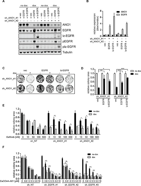 EGFR and ANO1 form a functional complex which regulates cancer cell proliferation (A) Immunoblots of EGFR, phospho-EGFR (Y1068) and ANO1 protein levels in Te11 cells stably co-expressing dox-inducible shRNAs against ANO1 and dox-inducible expression constructs for EGFR-wt, lz-EGFR or an empty vector control after treatment with dox for 72 h. Representative immunoblots are shown. (B) Relative mRNA-levels of ANO1 and EGFR in Te11 cells treated as in A. mRNA-levels in dox-treated samples were normalized to the respective non-dox treated sample and are presented as the mean ± SEM of three independent experiments. (C) Colony formation assay of Te11 cells stably co-expressing dox-inducible shRNAs against ANO1 and dox-inducible expression constructs for EGFR-wt, lz-EGFR or an empty vector control. Representative images are shown. (D) Quantification of the relative colony area of Te11 cells treated as in C. Values were normalized to the respective non-dox treated sample and are presented as the mean ± SEM of three independent experiments. ( p