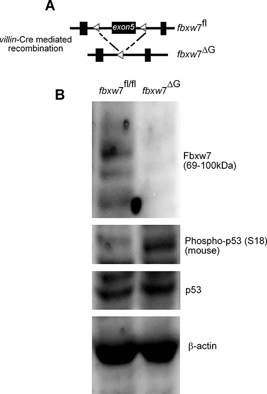 Induction in the level of the of murine phospho-p53(Ser18) in the intestine of fbxw7 ΔG mice (A) Schematic shows the floxed Fbxw7 allele ( fbxw 7 fl/fl ) before and after villin -Cre recombination to generate gut-specific conditional Fbxw7 inactivation ( fbxw 7 ΔG ) mice. (B) Western blot analysis of fbxw 7 fl/fl and fbxw 7 ΔG intestinal proteins using antibodies against Fbxw7, p53, phospho-p53(Ser15), and the loading control β-actin. Experiments were performed on at least two independent occasions.