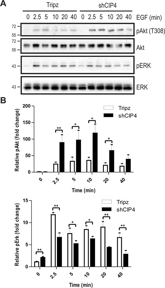 CIP4 silencing alters EGFR signaling to Akt and ERK kinases (A) MDA-MB-231 Tripz or shCIP4 were treated with Dox (2 μg/ml for 48 hours) prior to serum starvation and treatment with EGF (50 ng/ml) for the indicated times (min.). Lysates were subjected to immunoblot with the indicated antibodies. Positions of molecular mass markers are indicated on the left. (B) Densitometry was performed and phosphoprotein levels were normalized to total protein levels, and expressed as fold change relative to time 0 (mean ± sem is shown for 4 separate blots from 2 experiments; * p
