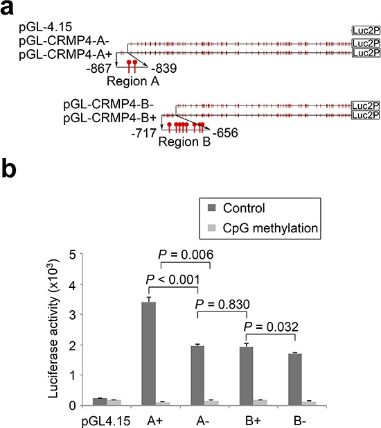 Regulation of CRMP4 promoter activity by CpG modification (a) Illustration of the four CRMP4 promoter-driven luciferase reporters designated as A+ (−867/+114), A− (−839/+114), B+ (−717/+114), and B− (−656/+114). (b) Luciferase activities of the four CRMP4 promoter reporters that were pre-treated with or without M.SssI. One-way ANOVA was used to analyze the difference among the four groups luciferase reporters designated, and the differences between groups determined by the Student's t -test were considered to be significant at a P value less than 0.05/3 after correction. The error bars in b are s.e.m.