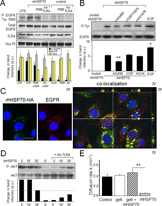 Extracellular rhHSP70 induces a <t>TLR4-dependent</t> <t>EGFR</t> transactivation leading to the GJIC abrogation A. Western blot analysis of EGFR Tyr-1068 phosphorylation and TLR4 expression in HMEC, unstimulated (control) or stimulated with rhHSP70 or LPS (1 μg/ml) for 15 min. When indicated, cells were pre-treated for 60 min with polymyxin B (PMB10 μM) or the neutralysing anti-TLR4 ( Ab TLR4 10 μg/ml). Lower panel shows changes in the band intensity (mean ± SD, n=3; Hsc70 as loading control). B. Tyrosine phosphorylation of EGFR by rhHSP70 involves the kinase JAK2. Western blot analysis of EGFR phosphotyrosine (P-Tyr) after EGFR immunoprecipitation in HMEC. Cell pretreatment with the kinase inhibitors AG1478 (AG14; 5μM), CGP77675 (CGP; 1μM), AG490 (50μM) for 30 min before exposure to rhHSP70 or 100 ng/ml EGF for 15 min. A boiled rhHSP70 (100°C, 30 min) known to denaturize protein but not LPS, was used to evaluate the contribution of contaminants to the EGFR activation. Lower panel shows changes in band intensity (mean ± SD, n=5; **P