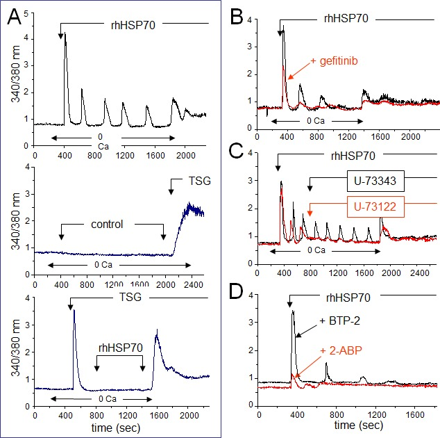 Extracellular rhHSP70 induces intracellular Ca 2+ mobilization A. rhHSP70 induced Ca 2+ release from internal stores in HMEC. Data are expressed as the 340/380 nm excitation ratio in one cell to observe oscillations in [Ca 2+ ]i because the oscillatory process is not synchronized in cells of the same monolayer. External additions of drugs are indicated by arrows. Changes in external calcium bath conditions are indicated on the bottom of traces. In most cases, drugs were initially applied in the absence (0 Ca) then in Ca 2+ (1.8 mM) containing solution to reveal Ca 2+ release from internal stores then external Ca 2+ entry, respectively (representative from 50 cells; n=10). No calcium increase was induced by the cell superfusion of the control bath solution (middle trace) while thapsigargin (TSG 4μM) always produced a drastic increase in [Ca 2+ ]i (lower trace; Representative from 50 cells; n=4). B. Contribution of EGFR to rhHSP70-induced Ca 2+ signaling. Superimposed traces from cells preincubated with the EGFR (ErbB1) inhibitor, gefitinib (10 μM for 30 min; in red), before the addition of rhHSP70 (Representative from 50 cells; n=5). C. Effects of phospholipase C (PLC) inhibitor U-73122 (5 μM) and its inactive analog U-73343 (5 μM) on the rhHSP70-induced Ca 2+ oscillations. Drugs were applied without (0 Ca) then with extracellular Ca 2+ (1.8 mM) (representative from 50 cells; n=5). D. Ca 2+ oscillations required both Ca 2+ release from internal stores and store operated Ca 2+ entry (SOCE). Cells were pretreated with the selective SOCE inhibitor, BTP-2 (20 μM; 20 min), before challenged with rhHSP70 (Representative from 30 cells; n=4).