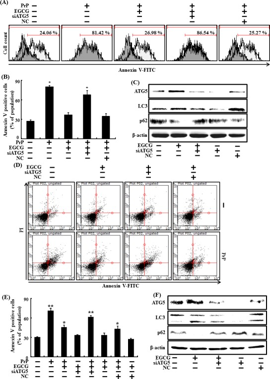 Inhibiting autophagy with ATG5 siRNA reduced the increase in autophagy caused by EGCG ATG5 small interfering RNA (siATG5) or negative control siRNA (NC) transfected primary neuron cells were incubated with 50 μM PrP (106-126) for 36 h in the presence of EGCG. Cell viability was measured by annexin V assay A , B. siATG5 or NC transfected primary neuron cells were incubated with EGCG (10 μM) for 30 h. Western blot for ATG5, LC3 and p62 proteins was analyzed from SH-SY5Y cells. β-actin was used as loading control C. siATG5 or NC transfected SH-SY5Y cells were incubated with 50 μM PrP (106-126) for 36 hr in the presence of EGCG. Cell viability was measured by Annexin V assay D , E. siATG5 or NC transfected SH-SY5Y cells were incubated with EGCG (10 μM) for 30 hr. Western blot for ATG5, LC3-II and p62 proteins was analyzed from SH-SY5Y cells. Beta-actin was used as the loading control F. Bars indicate mean ± standard error (n = 4). * p