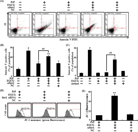 EGCG prevents neuronal cells from PrP (106-126)-induced cell death through the sirt1 pathway Sirt1 small interfering RNA (siSirt1) or negative control siRNA (NC) transfected SH-SY5Y cells were incubated with 50 μM PrP (106-126) for 36 hr in the presence of EGCG. Cell viability was measured by Annexin V assay A , B . SH-SY5Y cells were pretreated with sirtinol (10 μM) and EGCG (10 μM) for 1 h and then exposed to 50 μM PrP (106-126) for 36 hr. Cell viability was measured by Annexin V assay C . The cells were measured for JC-1 mono form (green) by flow cytometry. M1 represents the population of JC-1 monomeric cells D , E . Bars indicates mean ± standard error ( n = 4). * p