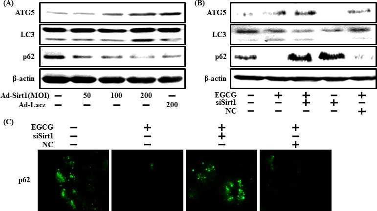 EGCG increases autophagy through the sirt1 pathway The SH-SY5Y cells were transfected by overexpressing adenovirus (Ad-Sirt1) or lacZ-bearing adenovirus (Ad-lacz). A Western blot of the LC3-II, ATG5 and p62 proteins was conducted in SH-SY5Y cells. Beta-actin was used as the loading control A . Sirt1 small interfering RNA (siSirt1) or negative control siRNA (NC) transfected SH-SY5Y cells were incubated with EGCG (10 μM) for 30 hr. A Western blot for the LC3-II, ATG5, and p62 proteins was conducted with SH-SY5Y cells. Beta-actin was used as the loading control B . SH-SY5Y cells were treated as described in Figure 3A , and then ICC for p62 was analyzed C .