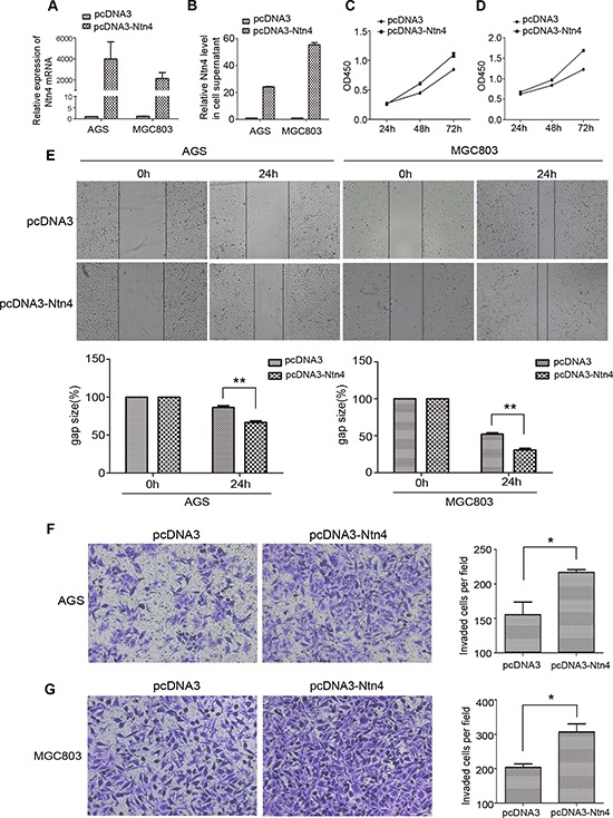 Overexpression of Ntn4 promoted the growth, migration and invasion of GC cells A–B. The overexpression of Ntn4 was achieved in AGS and MGC cells by transient transfection of pcDNA3-Ntn4 for 48 hours and with pcDNA3 vector (pcDNA3) only as control. Expression of Ntn4 was measured with Q-PCR (A) and ELISA (B). C–D. The enhanced expression of Ntn4 accelerated the growth of AGS (C) and MGC803 (D) cells. The cell proliferation assay was performed with CCK8 assay at 24, 48 and 72 hours, respectively after the transfection with pcDNA3 or pcDNA3-Ntn4. E. The enhanced expression of Ntn4 boosted the wound healing of AGS and MGC803 cells. The monolayer of cells transfected with pcDNA3 or pcDNA3-Ntn4 was disrupted with a tip and photographed under microscope at 0 and 24 hours; Magnification, × 100. F–G. The enhanced expression of Ntn4 promoted the invasion of AGS (F) and MGC803 (G) cells. Cells were transfected with pcDNA3 or pcDNA3-Ntn4 for 48 hours and subjected to the invasion assay; Magnification, × 100. Mean ± SEM, n ≥ 3. ** p