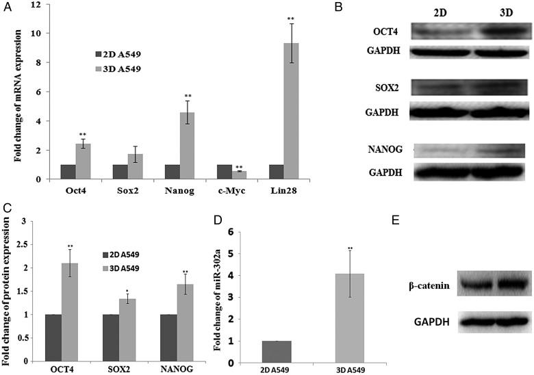 The expression of reprogramming transcription factors in 2D- and 3D-grown A549 cells. ( A ) qRT-PCR for the expression of reprogramming transcription factors <t>OCT4,</t> SOX2, <t>NANOG,</t> c-MYC and LIN28 in 2D- and 3D-grown A549 cells. ( B ) Western blotting for expression of OCT4, SOX2 and NANOG in 2D- and 3D-grown A549 cells. ( C ) Gray analysis the result of Figure 3 B. ( D ) qRT-PCR for the expression of reprogramming factor miR-302a expression in 2D- and 3D-grown A549 cells. ( E ) Western blotting for the expression of β-catenin in 2D- and 3D-grown A549 cells. Data are presented as mean ± SE. Experiments were independently repeated at least three times.