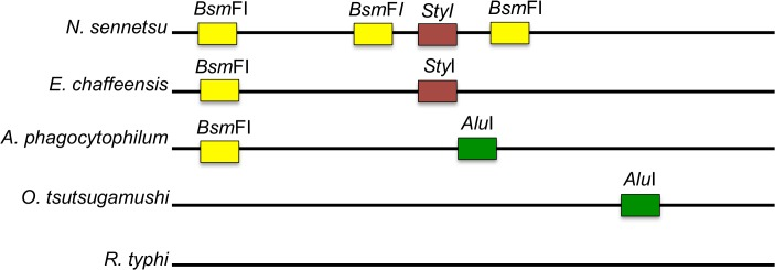 Schematic alignment of N . sennetsu and related organisms showing the restrictions sites used for the RFLP. The unique RFLP pattern of the 16 sRNA gene target, after incubation with Alu I (green), Bsm FI (yellow) or Sty I (red) allow the differentiation of N . sennetsu , E . chaffeensis and A . phagocytophium as well as other potentially amplified organisms. The resulting fragment sizes are as follows; N . sennetsu – Alu I: 345bp (uncut); Bsm F1: 180bp, 80bp, 60bp, 16bp; Sty I: 215bp, 127bp; E . chaffeensis–Alu I: 345bp (uncut); Bsm F1: 328bp, 16bp; Sty I: 215bp, 127bp; A . phagocytophium–Alu I: 199bp, 145bp Bsm F1: 328bp, 16bp; Sty I: 345bp (uncut).