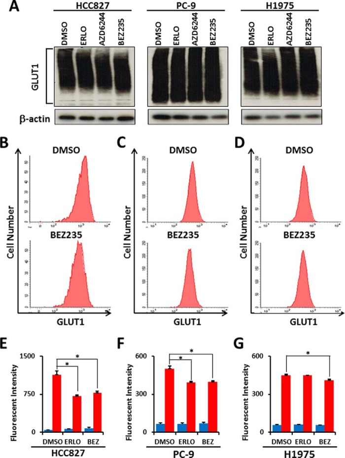 Inhibition of the PI3K/AKT/mTOR pathway does not affect total GLUT1 protein expression but alters membrane-bound GLUT1 levels in EGFR -mutant LAD cells. A , Western blot analysis showing GLUT1 and β-actin as a loading control in HCC827, PC-9, and H1975 cells treated with the indicated inhibitors. Equivalent amounts of proteins from whole cell lysates were subjected to WB analysis to detect total GLUT1 proteins. For flow cytometric analysis, LAD cells were treated with ERLO (1 μ m ), BEZ235 (1 μ m ) or DMSO as a control for 6 h. After fixation, cells were stained with a rabbit anti-GLUT1 antibody and <t>FITC-conjugated</t> anti-rabbit secondary antibody. B—D , representative flow cytometry plots of GLUT1 expression in HCC827 ( B ), PC-9 ( C ), and H1975 ( D ) cells treated with DMSO or BEZ235. E—G , mean fluorescence intensity for GLUT1 for HCC827 ( E ), PC-9 ( F ), and H1975 ( G ) cells. BEZ , BEZ235. Blue bars show background fluorescence with the <t>IgG</t> isotype control, whereas red bars indicate fluorescence staining results with anti-GLUT1 antibody. Error bars indicate mean ± S.D. ( n = 3). *, p