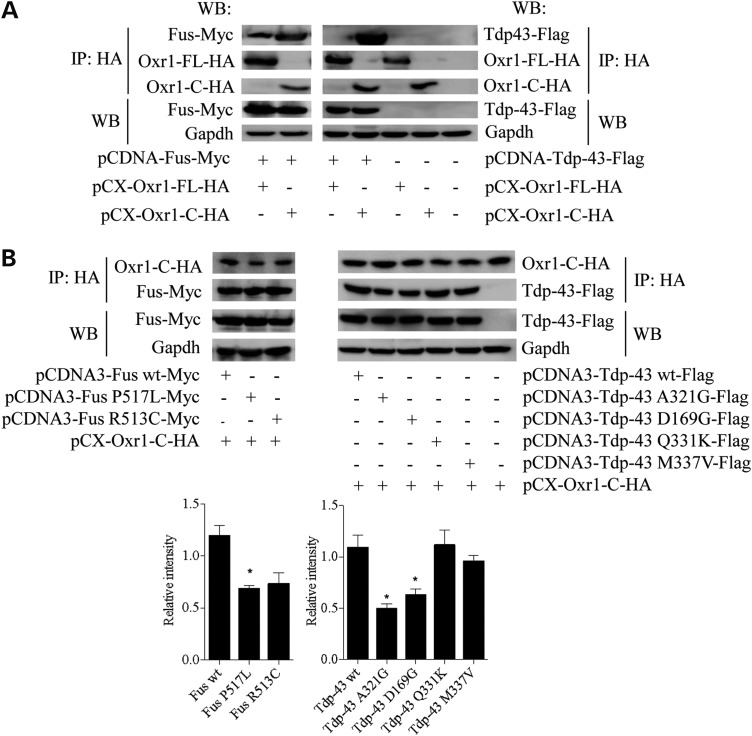 Oxr1 interacts with Fus and Tdp-43, two ALS-associated proteins. ( A ) Co-immunoprecipitation in N2a cells demonstrating that Fus binds to Oxr1-FL and -C while Tdp-43 binds to Oxr1-C only. ( B ) Co-immunoprecipitation of Oxr1-C with Fus and Tdp-43 wild-type and mutants (Fus P571L, Fus R513C, Tdp-43 A321G, Tdp-43 D169G, Tdp-43 Q331K and Tdp-43 M337V) in co-transfected N2a cells and western blot quantification. In A and B, the first three bands represent proteins immunoprecipitated with anti-HA beads, while the two last bands represent direct protein extracts to control for equal amount of tagged-proteins used per co-immunoprecipitation. Statistical significance was determined by one-way ANOVA ( n = 3); * P