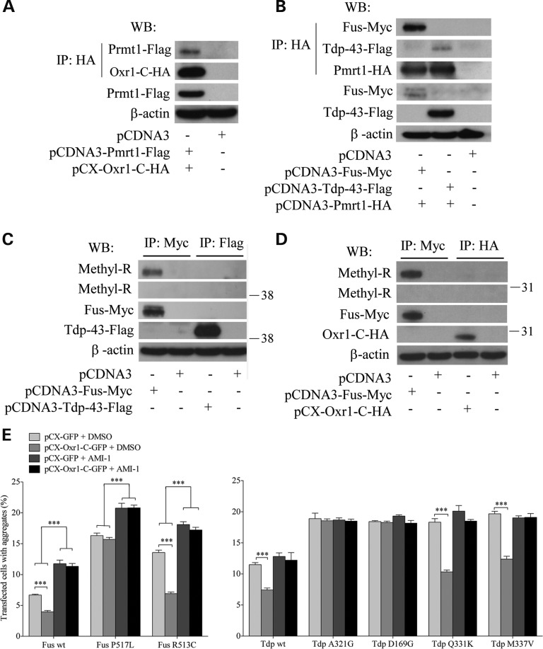 Reduction in cytoplasmic aggregation of wild-type and ALS-linked mutant Fus and Tdp-43 by Oxr1-C depends on arginine methylation. ( A ) Co-IP of Oxr1-C and Prmt1 in co-transfected N2a cells shows that Oxr1-C interacts with Prmt1. ( B ) Co-IP of Fus and Tdp-43 with Prmt1 in co-transfected N2a cells demonstrates Fus and Tdp-43 interact with Prmt1. ( C and D ) Arginine residues of Fus, but not of Tdp-43 ( C ) or Oxr1-C ( D ) are methylated. ( E ) Quantification of HeLa cells forming aggregates under H 2 O 2 treatment when co-transfected with Fus wild-type (wt) and mutants (P517L and R513C) or Tdp-43 wild-type and mutants (A321G, D169G, Q331K and M337V), and with either GFP or Oxr1-C with and without AMI-1 treatment. Statistical significance between co-transfection with GFP or Oxr1-C was determined by two-way ANOVA followed by Bonferroni's test ( n = 3); *** P