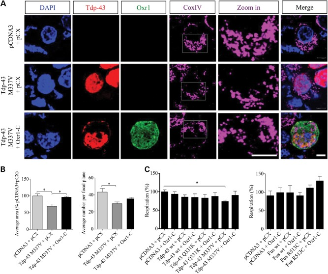 Oxr1 restores normal mitochondrial morphology and oxygen consumption in motor neurons expressing Tdp-43 M337V mutant. ( A ) Representative images of NSC-34 cells transfected with Flag-tagged Tdp-43 M337V with empty vectors (pCDNA3 + pCX) or HA-tagged Oxr1-C for 24 h. COXIV was used as a mitochondrial marker. Higher magnification ('zoom in') images of the fragmented mitochondrial structure in cells transfected with Tdp-43 M337V mutants are also shown. Scale bars: 5 μm in all panels. ( B ) The average mitochondrial area and average number of mitochondria were quantified; mitochondria in cells transfected with Tdp-43 M337V were smaller and fragmented when compared with cells transfected with empty vectors or co-transfected with Tdp-43 M337V and Oxr1-C ( n = 3–4). ( C ) Oxygen consumption was quantified on NSC-34 cells transfected with the indicated vectors for 24 h. Statistical significance between cells transfected with empty vectors or Tdp-43 and Oxr1-C was determined by one-way ANOVA ( n = 3–4); * P