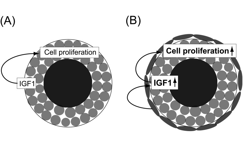 Proposed model for theca cell control of IGF1 expression and granulosa cell proliferation. (A) A secondary follicle containing no theca cells. (B) A follicle containing theca cells. Black circles, oocyte; gray circles, granulosa cells; gray flat circles, theca cells.