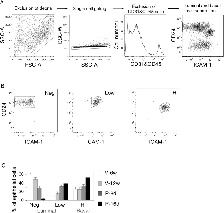 Gating procedure for flow cytometry analysis. ( A ) Sequential steps of gating procedure for flow cytometry analysis and sort of mammary epithelial cells stained with anti-CD31, anti-CD45, anti-CD24 and anti-ICAM-1 antibodies. From left to right: exclusion of debris by gating cells on forward (FSC-A) and side scatter (SSC-A) parameters, exclusion of doublets by gating cells on SSC-A and SSC-W parameters, exclusion of CD31/CD45-expressing cells, luminal and basal cell separation using CD24 and ICAM-1 expression. ( B ) Purity control of the sorted ICAM1-neg, ICAM1-low, and ICAM1-hi CD24-positive epithelial cell populations. Cell purity was ≥97%. ( C ) Percentages of ICAM1-neg, ICAM1-low, and ICAM1-hi mammary epithelial cells at puberty, maturity, early-, and late pregnancy. Data are expressed as the mean (±S.E.M) of three flow cytometry analyses. DOI: http://dx.doi.org/10.7554/eLife.06104.005