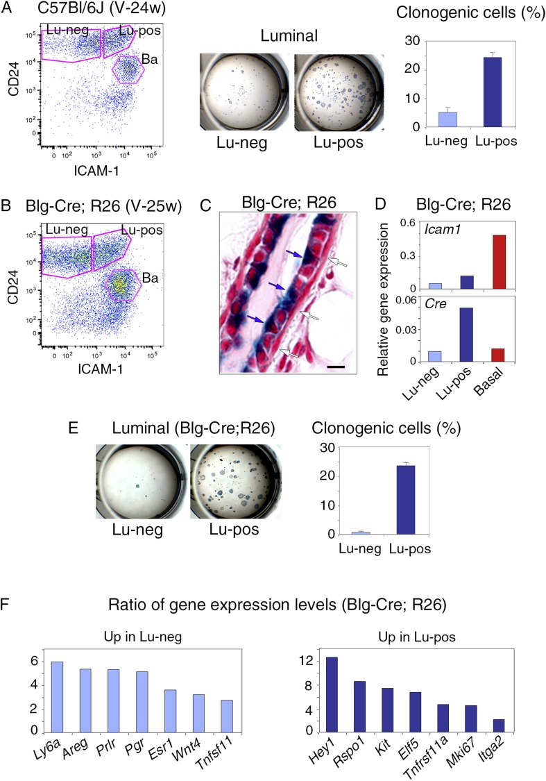 Isolation of mammary luminal progenitors from adult virgin C57Bl/6J and Blg-Cre; R26 females using ICAM-1. ( A ) Isolation of clonogenic luminal progenitors from adult virgin C57Bl/6J mice using ICAM-1. Left panel: flow cytometry analysis of ICAM-1 and CD24 expression in freshly isolated mammary epithelial cells. Middle panel: H E staining of clonal colonies obtained from Lu-neg and Lu-pos luminal cells after 8 days in culture. Right panel: percentages of clonogenic cells. The results are from triplicates obtained with one cell preparation and presented as mean values ±S.E.M. ( B ) Flow cytometry analysis of ICAM-1 and CD24 expression in mammary epithelial cells freshly isolated from adult virgin Blg-Cre; R26 females. ( C ) Sections through Blg-Cre; R26 mouse mammary gland Xgal-stained in whole mount. Blue and white arrows indicate LacZ-positive luminal cells and LacZ-negative basal cells, respectively. Bar, 15 μm. ( D ) Icam-1 and Cre expression in Lu-neg, Lu-pos, and basal cells, as determined by q-PCR. The values normalized to Gapdh expression are from one representative experiment performed with 3 pooled adult virgin Blg-Cre; R26 mice. ( E ) Clonogenic potential Lu-neg and Lu-pos luminal cells isolated from adult virgin Blg-Cre; R26 mice using ICAM-1. Left panel: Xgal staining of colonies counterstained with fast red. Right panel: percentages of clonogenic cells. The results are from triplicates obtained with one cell preparation and presented as mean values ±S.E.M. ( F ) q-PCR analysis of gene expression levels in Lu-neg and Lu-pos cells isolated from mammary glands of 3 pooled adult virgin Blg-Cre; R26 mice. Ratios of values normalized to Gapdh expression are shown. Lu-neg/Lu-pos and Lu-pos/Lu-neg ratios are presented in left and right panels, respectively. DOI: http://dx.doi.org/10.7554/eLife.06104.006