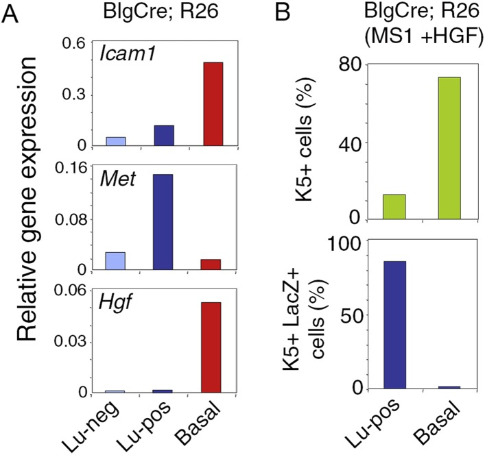 Met expression in luminal progenitors isolated from Blg-Cre; R26 mice. ( A ) Icam-1 , Met , and Hgf expression in Lu-neg, Lu-pos, and basal/myoepithelial cells, as determined by q-PCR. Cells were isolated from mammary glands of 3 pooled adult virgin Blg-Cre; R26 mice. The q-PCR values were normalized to Gapdh expression. ( B ) Percentages of K5-positive cells (upper panel) and K5-positive cells expressing LacZ (lower panel) in HGF-treated spheres derived from Lu-pos and basal cells isolated from mammary glands of 3 pooled adult virgin Blg-Cre; R26 mice. Data are from one cell preparation. At least 500 cells were counted per sample. DOI: http://dx.doi.org/10.7554/eLife.06104.015