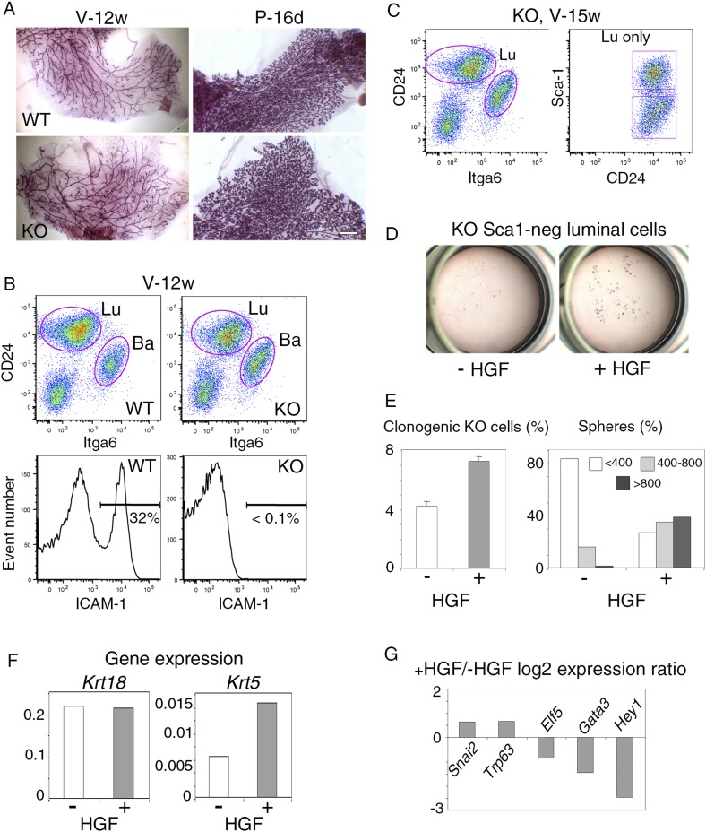 Response of luminal progenitors isolated from Icam1 -deficient mammary epithelium to HGF stimulation. ( A ) Representative images of carmine-stained mammary glands from adult wild-type (WT) and Icam1 -KO mice. V-12w, 12-week-old virgin and P-16d, 16-day pregnant females. Bar, 1.5 mm. ( B ) Flow cytometry analysis of CD24, Itga6, and ICAM-1 expression in mammary epithelial cells freshly isolated from adult virgin WT and Icam1 -KO females. Upper panels: Dot plots of CD24 and Itga6 distribution showing luminal and basal cell compartments. The percentages of luminal cells were equal to 74 ± 9% and 67 ± 9% (data from four independent sorting experiments) in WT and KO epithelium, respectively. Lower panels: Corresponding histograms of ICAM-1 expression in the whole mammary cell population. ( C ) Flow cytometry analysis of CD24, Itga6 and Sca-1 expression in mammary epithelial cells isolated from adult virgin Icam1 -KO females. Left panel: Dot plots of CD24 and Itga6 distribution. Right panel: Dot plots of CD24 and Sca-1 expression in the luminal cell population. ( D ) Representative microphotographs of primary mammospheres derived from purified Icam1 -KO Sca1-neg luminal cells and grown in the presence or absence of HGF for 12 days. ( E ) Characteristics of primary mammospheres derived from purified Icam1 -KO Sca1-neg luminal cells. Left panel: average percentages (±S.E.M) of clonogenic cells in non-stimulated and HGF-stimulated cultures. Data from one cell preparation with three separate wells are shown. Right panel: sphere size distribution (in arbitrary units) in HGF-treated and untreated cultures. At least 250 spheres were analyzed per conditions. ( F ) Krt18 and Krt5 expression levels in spheres derived from untreated and HGF-treated Icam1 -KO Sca1-neg luminal cells. The values were normalized to Gapdh expression. ( G ) Comparative expression levels of basal-specific, EMT-associated and luminal-specific genes in spheres derived from untreated and HGF-treated Icam1 -K
