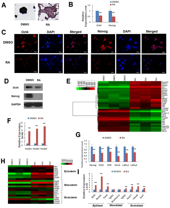 Changes in the expression of genes involved in ESC self-renewal and differentiation, following retinoic acid (RA) treatment. (A) Alkaline phosphatase staining of J1 mESCs cultured on gelatin-coated plates without LIF and treated with 1 μM RA or DMSO for 24 h. Alkaline phosphatase staining is an indicator of pluripotency. Scale bars = 100 μm. (B, C, D) qPCR, immunofluorescence, and western blot analysis of Oct4 and Nanog expression in J1 mESCs. DAPI was used for nuclear staining. Scale bars represent 100 μm. (E) Expression pattern of the representative upregulated differentiation-associated genes and downregulated pluripotency-related genes. Low intensities are shown in green and high intensities in red. mESCs were treated with DMSO or RA. (F) Representative differentiation-associated genes. The Hoxb gene was upregulated significantly by RA treatment. (G) Representative pluripotency-related genes downregulated in the presence of RA were validated by qPCR. (H) Heatmap diagram of three germ cell marker genes treated with or without RA. Epiblast marker expression was significantly altered by RA. (I) qPCR analysis validated these trends for the altered expression of genes related to growth and development of mESCs. J1 mESCs cultured with DMSO (vehicle) or 1 μM RA for 24 h. Data are presented as the mean ± SEM of three independent experiments (*p