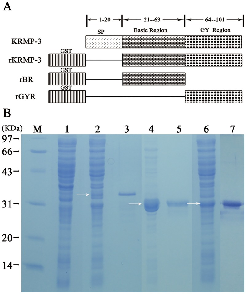 Recombinant derivatives of KRMP-3. (A) Schematic representation of KRMP-3, rKRMP-3, rBR and rGYR. KRMP-3, wild-type full-length KRMP-3 containing the signal peptide (SP) sequence and consisting of 101 amino acid residues; rKRMP-3, KRMP-3 devoid of the SP sequence and contains 81 amino acid residues and its N-terminally tagged with an affinity GST; rBR, the basic region of KRMP-3 containing 43 amino acid residues (21–63) and N-terminally tagged with an affinity GST; rGYR, the Gly/Tyr-rich region of KRMP-3 containing the C-terminal 38 amino acid residues (64–101) and N-terminally tagged with GST as well. (B) Expression and purification of recombinant KRMP-3, GYR and BR in E . coli . Arrows represent the induced proteins by IPTG. M: protein molecular mass markers; lane 1: uninduced whole-cell lysate; lane 2, 4, 6: whole-cell lysate of rKRMP-3, rGYR and rBR induced by 0.8 mM IPTG; lane 3, 5, 7: purified rKRMP-3, rGYR and rBR eluted from GSTrap FFcolumn.