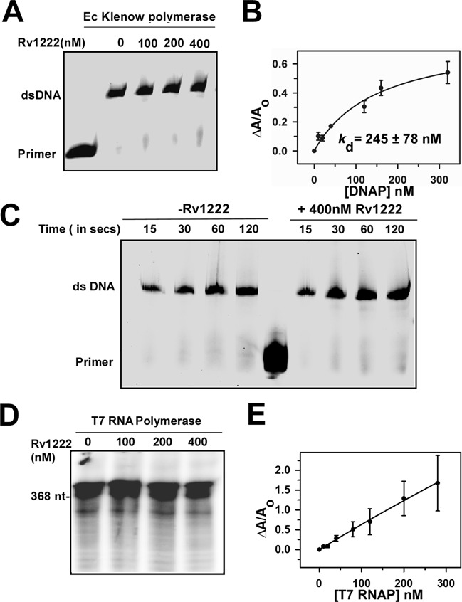 Rv1222 does not inhibit DNA synthesis. (A) In vitro replication assay: 0.5U of Ec <t>Klenow</t> DNAP, Cy5-labelled primer and 65 base DNA fragments were used in the assay. Rv1222 was incubated with DNAP before the replication reactions were initiated with <t>dNTP.</t> Reactions were stopped after 1min and products were separated on 12% Urea-PAGE. The gel was scanned on a Typhoon Trio+ at Cy5 channel. ( B ) Binding of 20 nM TMR labelled Rv1222 to Klenow polymerase. ( C ) Effect of Rv1222 on the kinetics of DNA replication: Same as A except the reactions were stopped at the indicated time interval. ( D ) In vitro transcription assay with T7 RNAP: 0.2 U of T7 RNAP was used with 100 nM of T7 promoter containing DNA fragment. ( E ) Binding of 20 nM TMR labelled Rv1222 to T7 RNAP by fluorescence anisotropy.