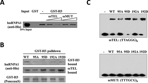 Phosphomimetics facilitate hnRNP-A1 mutants binding to single-stranded telomeric DNA. ( A ) The association between GST-H3 DNA-PKcs fragment and hnRNP-A1 protein was challenged with increasing concentrations (0.2 μM, 2 μM) of either signal-strand telomeric DNA (ssTEL, TTAGGG x8 ) or mutant DNA (ssMUT, TTTGCG x8 ). The bound hnRNP-A1 proteins were western blotted with anti-His antibody. ( B ) WT and mutant hnRNP-A1 proteins were incubated with both GST-H3 fusion protein and biotinylated ssTEL (0.5 μM). GST-H3 bound hnRNP-A1 was retrieved by Glutathion-sepharose beads. The unbound hnRNPA1:ssTEL complex was subsequently retrieved by streptavidin beads and analyzed by western blot. ( C ) Recombinant hnRNP-A1 proteins were incubated with either ssTEL or ssMUT oligonucleotides and analyzed in electrophoretic mobility shift assay (EMSA).