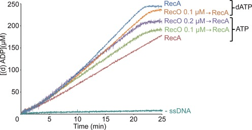 Effect of RecO on RecA nucleation and polymerization. Circular pGEM3 Zf (+) ssDNA (10 μM in nt) was pre-incubated with the indicated concentration of RecO for 5 min at 37°C in buffer A containing 5 mM ATP or dATP. Then RecA (0.8 μM) was added and the (d)ATPase activity measured for 25 min. All reactions were repeated three or more times with similar results. The amount of ATP or dATP hydrolyzed was calculated as described in 'Materials and Methods' section.
