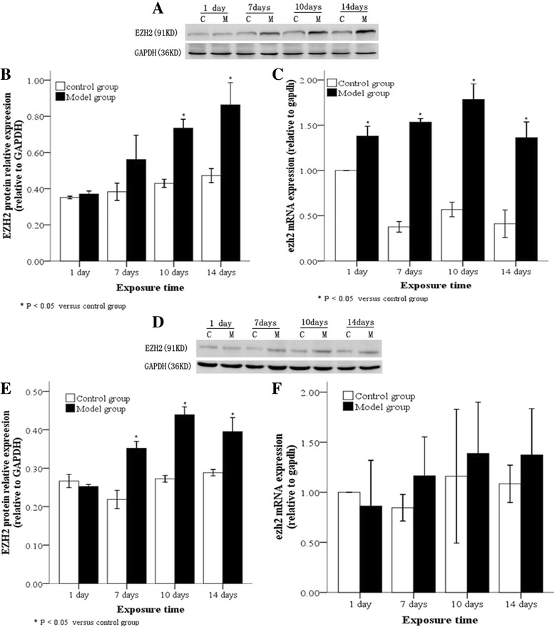 EZH2 protein and mRNA levels in lung tissues and AT2 cells following hyperoxia. In the model group, EZH2 protein, as determined by Western blot, ( a and b ) and mRNA, as determined by real time-PCR ( c ), were highly expressed in lung tissues after 10 day of hyperoxia, while EZH2 protein ( d and e ) and mRNA ( f ) were highly expressed in AT2 cells after 7 days of hyperoxia. C: Control group, E: Model group, * P