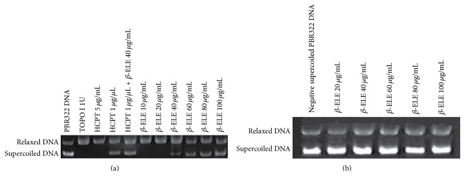TOPO I catalytic activity is inhibited by β -ELE. (a) The effect of β -ELE ( β -Elemene) on the relaxation of TOPO I-mediated, negative supercoiled <t>pBR322</t> <t>DNA.</t> As shown in (a), lane 1 is negative supercoiled pBR322 DNA (supercoiled DNA, S); lane 2 is relaxed DNA that is the product of supercoiled DNA reacted with the enzyme (relaxed DNA, R); and lanes 3 and 4 are positive control groups. HCPT (a typical inhibitor of TOPO I) had no inhibitory effect on the DNA relaxation activity of TOPO I at the concentration of 5 μ g/mL, whereas it completely inhibited the relaxation of pBR322 DNA mediated by TOPO I at a concentration of 1 μ g/ μ L. Lane 5 shows the effect of 1 μ g/ μ L HCPT combined with 40 μ g/mL β -ELE on the relaxation of TOPO I-mediated negative supercoiled pBR322 DNA. As shown in (a), the combination inhibited the relaxation activity of TOPO I. Lanes 6 to 11 show the effects of different concentrations of β -ELE (40, 60, 80, and 100 μ g/mL) on the relaxation of negative supercoiled pBR322 DNA mediated by TOPO I. β -ELE has no inhibitory effect on the relaxation activity of TOPO I at concentrations of 10 and 20 μ g/mL; however, with increasing drug concentration, β -ELE showed an increasing inhibitory effect on the DNA relaxation activity of TOPO I at concentrations of 40, 60, 80, and 100 μ g/mL. The OD of MAX was 58 ± 3, 80 ± 6, 92 ± 10, and 134 ± 12. The statistical analysis showed significant differences between the 100 μ g/mL and 40 μ g/mL treatment groups and the 60 μ g/mL and 80 μ g/mL treatment groups ( P