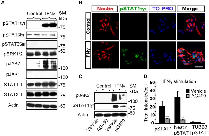 IFNγ increases tyrosine STAT1 phosphorylation in Nestin+ SVZ progenitors. (A) Phosphorylation of STAT1 at Tyr701 and JAK2 were induced 15 min after IFNγ (50 ng/mL) addition in primary SVZ cultures. Stimulation of pSTAT3 Tyr701 , pSTAT3 Ser727 , and JAK1 were not observed ( n = 6 per time point). Total STAT1 and STAT3 were unchanged and actin was the loading control. (B) Double-immunofluorescences staining showed that STAT1 Tyr701 immunoreactivity was absent in the control culture. After IFNγ stimulation STAT1 Tyr701 (green) was increased exclusively in Nestin+ progenitors (red; n = 4), TO-PRO (blue) labeled all nuclei. (C) The presence of the AG490 STAT1 inhibitor reduced STAT1 phosphorylation ( n = 4 per time point). Actin was the loading control. (D) Histogram represents immunoreactivity signal intensity of STAT1 Tyr701 per Nestin+ cell after IFNγ stimulation in the presence or absence of AG490 inhibitor. After IFNγ stimulation, phosphorylation of STAT1S Tyr701 was increased in Nestin+ progenitors and the presence of the JAK2 phosphorylation inhibitor AG490 impeded STAT1 phosphorylation ( n = 4). Scale bar: (B) 30 μm. Data are represented as mean ± SEM. ** p ≤ 0.01.