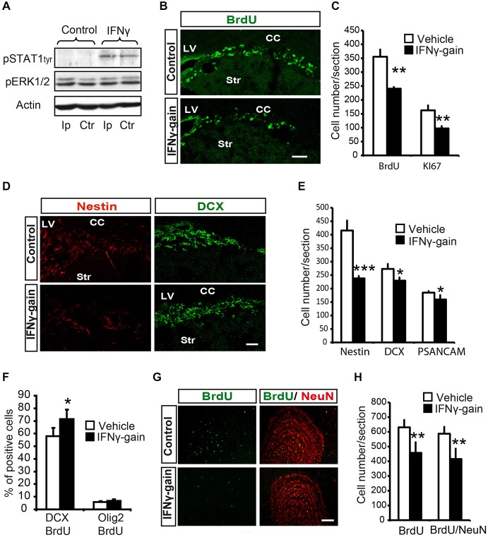 IFNγ modulates proliferation and neuronal differentiation in adult SVZ and causes a final neurogenesis impairment in the olfactory bulb(OB) in vivo . (A) Phosphorylation of STAT1 in the ipsilateral (Ip) and contralateral (ctr) SVZ niche of adult mice 30 min after they received an intracerebroventricular (ICV) injection of IFNγ (1 μl of 50 ng/ml) ( n = 3). (B) Pictures illustrating the decrease of Ki67 in dorsal SVZ after in vivo gain of function of IFNγ ( n = 4). (C) Histogram representing the total number of positive cells in the dorsal SVZ. BrdU+ cells and Ki67+ cells decreased in IFNγ-gain animals. (D) Pictures of dorsal SVZ showing substantial decrease in Nestin+ cells and mild differences in DCX+ cells of IFNγ-gain animals. (E) Quantification summarizes the robust decrease in Nestin+ progenitor cells and the mild reduction in neuroblast populations (DCX+ or PSA-NCAM+) in the SVZ niche of IFNγ-treated animals ( n = 6). (F) Histograms summarizing cellular fate determination (expressed as percentage) in animals injected with BrdU at time 0 and with a pump implanted for 4d. Neuronal fate determination (BrdU+/DCX+) was significantly increased and glial production (BrdU+/Olig2+) was unaltered by IFNγ ( n = 5). (G) Pictures of the OB showing the presence of BrdU+, NeuN+ and BrdU+/NeuN+ labeled cells in IFNγ-gain mice. The number of newborn cells (BrdU) and neurons (BrdU/NeuN) were reduced in the animals in which IFNγ activity was induced. (H) Histograms summarizing the quantification of total number of newborn cells and neurons per section in the OB of controls and IFNγ-gain animals ( n = 5). The number of newborn cells (BrdU+) and neurons (BrdU+/NeuN+) was reduced in the presence of IFNγ. Scale bar: (B, D) and (G) 100 μm. Data are represented as mean ± SEM. * p ≤ 0.05; ** p ≤ 0.01; *** p ≤ 0.01.