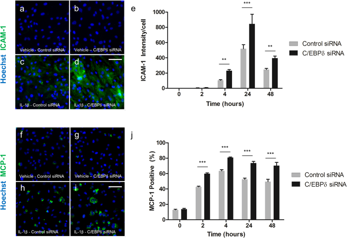 C/EBPδ knockdown enhances IL-1β induced MCP-1 and ICAM-1 protein expression. Human brain pericytes were transfected with 50 nM of control or C/EBPδ siRNA for 48 hours. Following transfection, cells were treated with vehicle or 10 ng/mL IL-1β for 2–24 hours and cells fixed and immunostained for ICAM-1 and MCP-1. Representative images of ICAM-1 and MCP-1 immunostaining respectively with vehicle and control siRNA ( a,f ), vehicle with C/EBPδ siRNA ( b,g ), 24 hours IL-1β with control siRNA ( c,h ) and 24 hours IL-1β with C/EBPδ siRNA are shown ( d,i ). Intensity of ICAM-1 staining ( e ) and the percentage of MCP-1 positive cells (j) were determined. Data is displayed as mean ± SEM from three independent experiments. ** = p