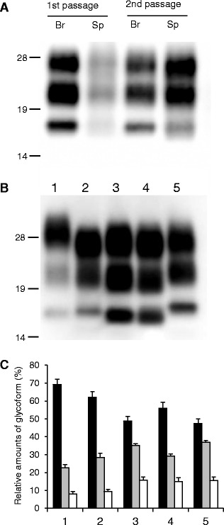Western blot analysis of proteinase-K resistant PrP Sc analyzed using monoclonal antibody T2. A PrP Sc in the brain (Br) and spleen (Sp) of wild-type mice inoculated with sheep-passaged L-BSE at the first and second passage. All samples were digested with 50 μg/mL of proteinase-K at 37 °C for 1 h. Lanes from left to right were loaded with 0.625, 5, 0.0125, and 0.36 mg tissue equivalent, respectively. The molecular markers are shown on the left (kDa). B PrP Sc in the brain of C-BSE- and L-BSE-affected cattle and mice. Lane 1: C-BSE affected cattle, Lane 2: C-BSE affected ICR mouse, Lane 3: L-BSE affected cattle, Lane 4: L-BSE affected sheep, and Lane 5: sheep-passaged L-BSE affected ICR mouse at second passage. Lanes 1, 3, and 4, and Lanes 2 and 5 were loaded with 1.25 and 0.125 mg tissue equivalent, respectively. C Quantification of the relative amounts of the di-, mono-, and unglycosylated forms of PrP Sc from the brain. The column numbers are as listed in ( B ). Bar diagram indicates the diglycosylated form (black), monoglycosylated form (gray), and unglycosylated form (white). Data are expressed as mean ± standard deviation of triplicate experiments.