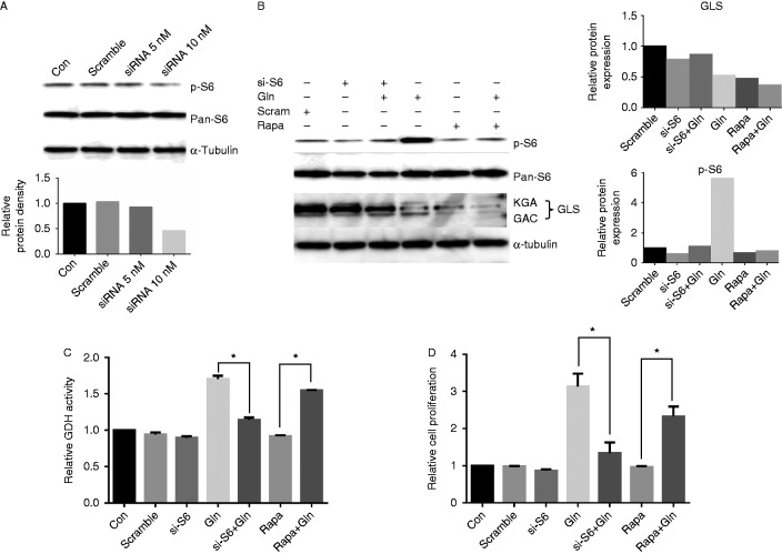 Knockdown S6 by siRNA transfection reduces the expression of GLS and activity of GDH. HEY cells were transfected with RPS6 siRNA for 24 h. Western blotting showed the expression of phosphorylation of S6 was inhibited after siRNA transfection (A). HEY cells were treated with 2.0 mM glutamine for 24 h after siRNA transfection. Both of S6 siRNA and rapamycin reduced the expression levels of GLS and phosphorylation of S6 (B). S6 siRNA transfection decreased GDH activity induced by glutamine (C). HEY cells were treated with 2.0 mM glutamine for 48 h after siRNA transfection. Cell proliferation was determined by MTT assay (D). * P