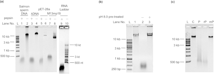 Validation of nucleic acid digestion by pepsin. a , Digestion of various DNA and RNA by commercial porcine pepsin. Lane 1, 2: salmon sperm DNA; Lane 3, 4: λ DNA; Lane 5, 6: <t>pET-28a;</t> Lane 7, 8: M13mp18; Lane 9, 10: RNA ladder. Other conditions: 4.0 mg ml −1 of pepsin, NaH 2 PO 4 buffer (25 mM, pH 3.8, including 200 mM NaCl), 37 °C, 5 h. For RNA, the digestion time was 1 h. b , Effect of alkaline conditions on pepsin NA digestion. Lane 1, original λ DNA; Lane 2, digested by active pepsin; Lane 3, digested by NaOH-pretreated pepsin. c, Digestion of λ DNA by commercial porcine pepsin (Lane P), recombinant pepsin (Lane rP) and mutant pepsin (Lane mP). Conditions: 0.15 mg ml −1 enzymes, pH 3.8, 37 °C, 12 h. A 0.8% agarose gel was used for electrophoresis.