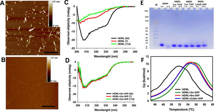 The effect of o -methylated 3HPs on: i) the HEWL fibril formation, ii) its α-to-β conformational rearrangement, iii) the HEWL acid-induced proteolysis, and iv) the HEWL thermal stability. (A–B) AFM micrographs of HEWL solutions (0.2 mM) previously incubated during 16d at pH 2.0 and 60 °C either (A) in buffer, or (B) in the presence of 20 mM 2 m-3HP. The scale bar represents 0.5 μm. (C-D) Far-UV CD spectra of HEWL incubated during 0, 7 and 17 days at pH 2.0 and 60 °C either (C) in buffer, or (D) in the presence of 20 mM 2 m-3HP. (E) <t>SDS-PAGE</t> gel analysis of solutions containing HEWL incubated at pH 2.0 and 60 °C during 0 and 10d either in the absence or in the presence of different o -methylated 3HPs. (F) Differential scanning calorimetry thermograms of different HEWL solutions (0.2 mM) at pH 2.0 acquired in the absence or in the presence of 20 mM of the different o -methylated 3HPs.