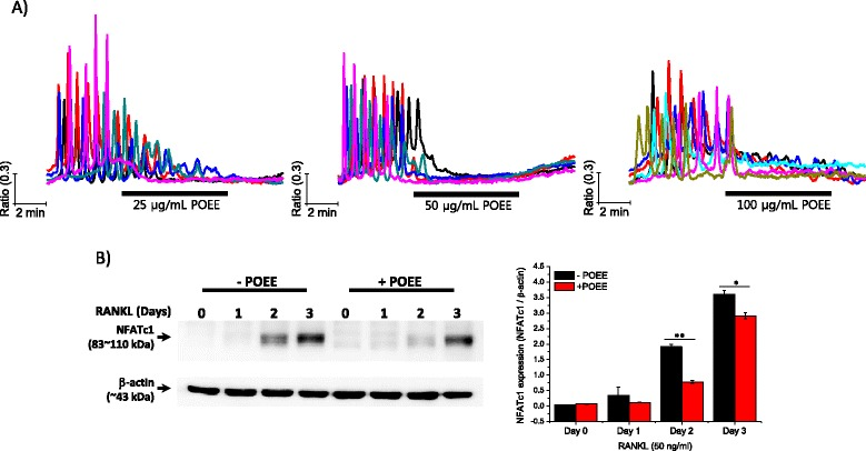 "Effects of Portulaca oleracea ethanol extract (POEE) on receptor activator of NF-κB ligand (RANKL)-induced free cytosolic Ca 2+ ([Ca 2+ ] i ) oscillations and nuclear factor of activated T-cell c1 (NFATc1) amplification. a Isolated bone marrow-derived macrophages (BMMs) were plated on cover glass and cultured for 48 h in the presence of RANKL (50 ng/mL). After incubation, [Ca 2+ ] i was measured using Fura-2 AM fluorescent dye as described in "" Materials and Methods ."" To confirm the generation of RANKL-induced [Ca 2+ ] i oscillations, cells were initially perfused with regular HEPES buffer, and then acutely treated with 25, 50, and 100 μg/mL of POEE diluted in regular HEPES buffer for the indicated time. Each trace presents the [Ca 2+ ] i response of a single cell. b Isolated BMMs were treated with RANKL (50 ng/mL) for the indicated time with or without POEE (50 μg/mL). Following incubation, whole proteins were collected and used for determining NFATc1 expression. β-actin was used for loading control. NFATc1 expression is shown as the mean of the ratio (NFATc1/β-actin)"