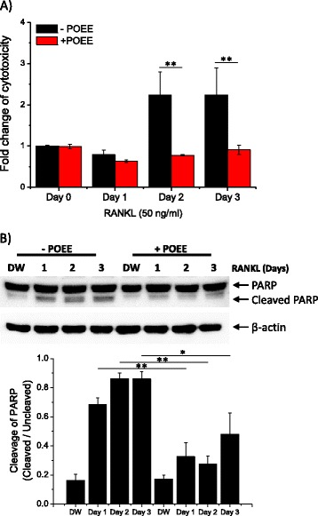 Portulaca oleracea ethanol extract (POEE) attenuates receptor activator of NF-κB ligand (RANKL)-mediated cytotoxicity. a Bone marrow-derived macrophages (BMMs) in 96-well plates were stimulated with RANKL for the indicated time. Following incubation, glucose-6-phosphate dehydrogenase (G6PD) in the culture medium was measured. The amount of released G6PD is calculated as a percentage of total G6PD, and results are presented as relative mean fold change. b BMMs were cultured under the indicated conditions. Polyadenosine 5′-diphosphate-ribose polymerase (PARP) expression and cleavage were evaluated by performing western blot analysis. Summarized data are presented as a ratio of cleaved PARP/uncleaved PARP in lower panel. <t>β-actin</t> was used for loading control