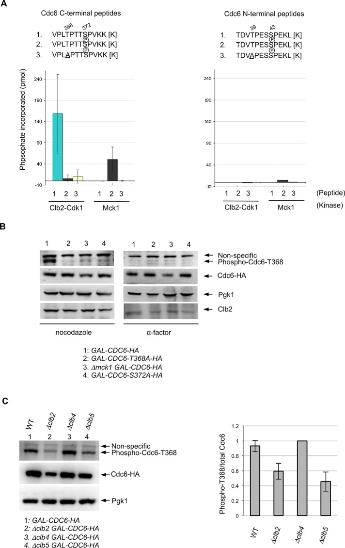 Mck1 phosphorylates the T368 site in Cdc6 after priming by Clb2-Cdk1. (A) To measure Clb2-Cdk1 and Mck1 kinase activities on Cdc6 phosphopeptides, various synthetic peptides of Cdc6 (residues 36–47 or 365–376; shown above) were incubated with purified kinases from asynchronous yeast cultures and [γ- 32 P]ATP. For each kinase, phosphate incorporation was normalized to a control reaction without peptides. Values for the C-terminal peptides represent the average from three independent experiments. Error bars represent SD. (B) Indicated strains were grown in raffinose-containing medium first. Cdc6 expression was induced with galactose for 2 h. Cells were blocked with nocodazole or α-factor for 2 h. Western blotting was performed using anti–phosphoT368 of Cdc6, anti-HA, anti-Pgk1, and anti-Clb2 antibodies, respectively. (C) Indicated strains were grown in raffinose-containing medium first, and then galactose was added to induce Cdc6 expression for 2 h. Cells were blocked with nocodazole for 2 h. Western blotting was performed using anti–phosphoT368 of Cdc6, anti-HA, and anti-Pgk1 antibodies, respectively (left). Band intensity for the phospho-Cdc6-T368 was quantified and normalized to the total amount of Cdc6 (right). The ratio phospho-T368/total Cdc6 in Δclb4 was set as 1. Results are the average of three independent experiments; error bars indicate SD.