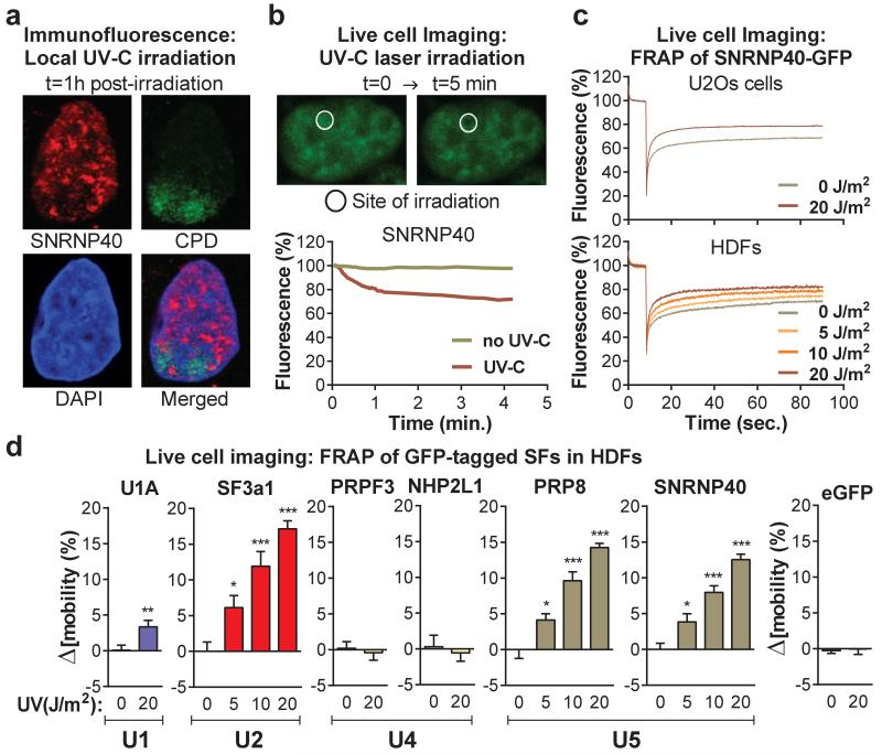 Mobilization and displacement of mature spliceosomes from UV-C induced DNA damage sites a, Immunofluorescence detection of SNRNP40 and CPDs in U2Os cells UV-irradiated through porous membranes. b, SNRNP40-GFP depletion from UV-C laser microirradiation sites in U2Os cells; typical image (top) and fluoresence quantification of 20 cells (bottom). c, FRAP of UV-triggered SNRNP40-GFP mobilization in U2Os and quiescent HDFs ( n=25 ). d, FRAP of free eGFP or GFP-tagged SFs in UV-irradiated quiescent HDFs. Δ[ mobility ] = (Fluorescence irradiated – fluorescence non-irradiated cells) at 1 min post-bleaching ( n=25 , mean ± s.e.m., T-test and one-way ANOVA).