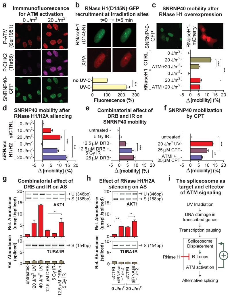 Reciprocal regulation between spliceosome mobilization and R loop-dependent ATM signaling a, Immunofluorescence of ATM activation in quiescent HDFs. b, Recruitment of RNAseH1(D145N)-GFP and mCherry-XPA at UV-C microirradiation sites ( n=10 , mean ± s.e.m., T-test). c,d,e,f FRAP showing SNRNP40-GFP mobilization in (c) untransfected and mCherry-RNaseH1 expressing U2OS cells, (d) after RNAseH1/H2A silencing, (e) in quiescent HDFs treated with DRB and/or IR and (f) after UV or CPT treatment. ( n=30 , mean ± s.e.m., one-way ANOVA). g,h, Intron retention assayed by RT-PCR in quiescent cells after (f) silencing of RNaseH1/H2A or (g) combined IR/DRB treatments ( n=2 , mean ± s.d., one-way ANOVA). (i) Model of UV-triggered and R-loop/ATM-augmented spliceosome mobilization.