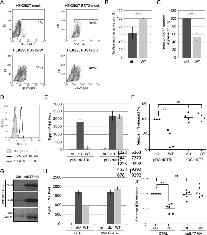 Vpu-mediated control of IFN-I production by pDCs involves engagement and activation of ILT7 by BST2. (A-C) Vpu-mediated BST2 antagonism enhances activation of ILT7. ILT7+ NFAT-GFP reporter cells were co-cultured with HEK293T (mock) or BST2-expressing HEK293T cells mock-transfected or transfected with the indicated pNL4.3 constructs (WT or dU). (A) Representative example of ILT7 activation as determined by the percentage of NFAT-GFP positive cells measured by flow cytometry. (B) Percentage of ILT7 activation after co-culture with the indicated HIV/BST2 expressing HEK 293T cells relative to WT HIV-producing cells (100%) (n = 4). (C) Percentage of BST2 surface expression in HEK293T cells after <t>co-transfection</t> of BST2 with the indicated HIV provirus relative to dU HIV-producing cells (100%) (n = 4). (D-F) Effect of ILT7 depletion on IFN-I production by pDCs. (D) Non-pDC fraction (BDCA-2-) and siRNA-treated enriched pDCs (CD14-/BDCA-2+) were stained using anti-ILT7 Abs as indicated. A representative example of absolute levels (E) or relative percentages (F) of IFN-I produced after co-culture of control pDCs (pDC-siCTRL) or ILT7-depleted pDCs (pDC-siILT7) with the indicated infected MT4 cells are shown. The amount of IFN-I released by pDC siCTRL in contact with dU HIV-infected cells was set at 100% (n = 4). (G-I) Effect of recombinant soluble ILT7 on IFN-I production by pDCs. (G) Expression of a HA-tagged soluble ILT7 (soILT7-HA) in HEK 293T cells. Cells and supernatants (sup) were analyzed by Western blot (WB) using anti-HA Abs. Purity of secreted soILT7-HA was confirmed by Coomassie staining (sup Coom). A representative example of (H) absolute levels or (I) relative percentages of IFN-I production after co-culture of PBMCs with the indicated infected MT4 cells pre-treated with control (CTRL) or soILT7-HA-containing supernatants are shown. The amount of IFN-I released by PBMCs in contact with dU HIV-infected cells in presence of CTRL supernatant was set at 100% (n