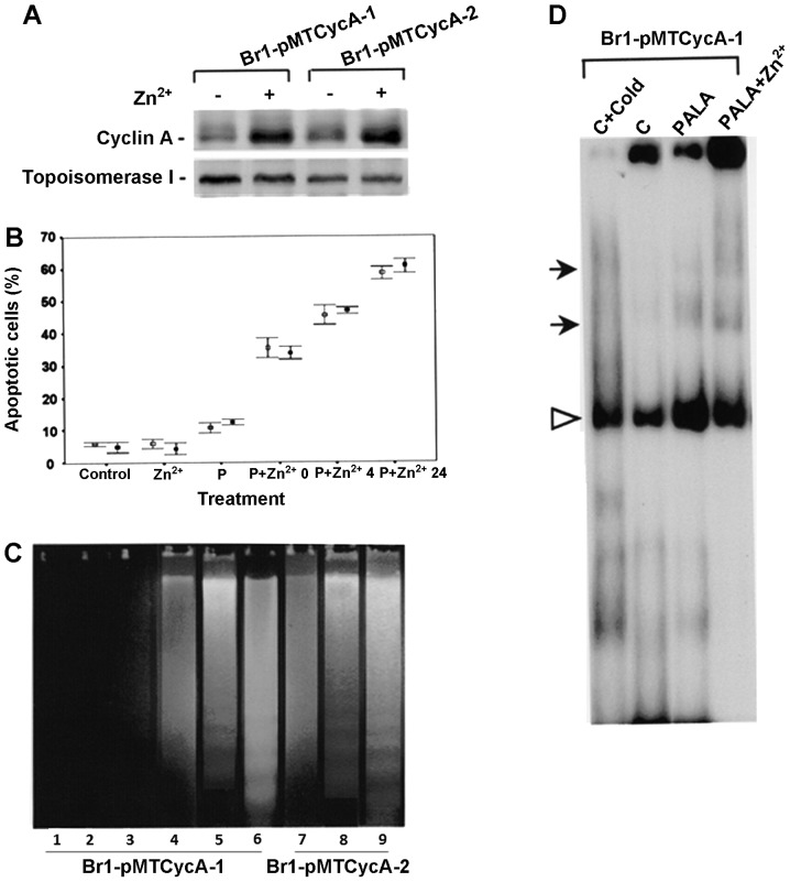 Characterization of inducible <t>cyclin</t> A expressing cells. (A) Cyclin A expression analysis. Brl-pMT Cyc A-1 and Br1-pMT Cyc A-2 cells were treated with 300 μM PALA for 48 h with simultaneous induction of cyclin A with 100 μM Zn 2+ for 9 h. (B) Percentage of Br1-pMT CycA-l (open squares) and Br1-pMT CycA-2 (solid squares) cells undergoing apoptosis in controls, Zn 2+ alone, PALA alone and PALA + Zn 2+ at different time intervals. (C) DNA fragmentation in Br-l pMTCyc A-I and Brl-pMTCyc A-2 cells: Lane 1, Control; 2, Zn 2+ treated; 3, PALA treated; 4–9, PALA + Zn 2+ treated and harvested at 0 h, lanes 4 and 7; 4 h, lanes 5 and 8; and 24 h, lanes 6 and 9. (D) E2F1 DNA binding assay in BR 1-pMTCyc A-1 cells: Nuclear extracts from control, 300 μM PALA and 300 μM PALA + Zn 2+ treated cells.