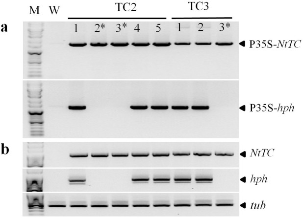 Identification of the T-DNA in transgenic rice plants to select marker-free transgenic rice lines. (a) PCR analysis of T 1 transgenic rice plants for marker excision. (b) RT-PCR analysis of NtTC and hpt from leaves of T 1 transgenic rice plants. The rice tubulin ( tub ) gene was used for normalization.