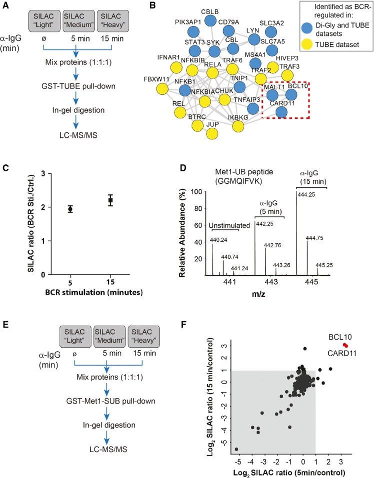 BCR stimulation induces linear ubiquitylation of BCL10 A Strategy for the identification of BCR-regulated ubiquitylated proteins. SILAC-labeled A20 cells were stimulated with α-IgG F(ab′)2 for the indicated times, and ubiquitylated proteins were affinity-enriched using tandem ubiquitin-binding entities (TUBE)-based pull-downs B Interaction network of BCR-induced ubiquitylated proteins. The network shows interaction among the proteins that were significantly enriched in TUBE pull-downs from BCR-stimulated cells compared to proteins pulled down from mock-treated control cells. Blue circles indicate the proteins which were also identified as BCR-upregulated in our di-Gly dataset. The dotted box indicates members of the CBM complex. C BCR stimulation increases the abundance of Met1-linked ubiquitin (Met1-UB). The plot shows the SILAC ratios of peptide corresponding to Met1-UB chains in the TUBE pull-downs from (A). The error bars represent mean ± SEM of the SILAC ratios. D BCR stimulation increases the abundance of linear ubiquitin peptide. The MS spectrum shows the relative abundance of the peptide (GGMQIFVK) corresponding to Met1-UB in TUBE pull-downs from unstimulated cells, or after 5 or 15 min of BCR stimulation. E, F Identification of BCR-regulated linear ubiquitylated proteins. Schematic presentation of the strategy used for SILAC-based Met1-SUB pull-downs (E). The scatter plot shows proteins identified in Met1-SUB pull-downs (F). The gray background indicates proteins that were identified in the pull-downs independent of BCR stimulation, and the red dots indicate proteins that were enriched after 5 and 15 min of BCR stimulation.