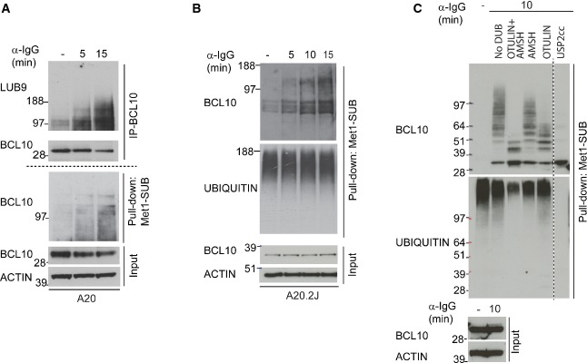 Validation of BCL10 linear ubiquitylation A, B Validation of BCR stimulation-dependent linear ubiquitylation of BCL10. BCL10 was immunoprecipitated from BCR-stimulated and unstimulated control A20 cells and immunoblotted with LUB9 antibody that binds to linear ubiquitin (A, the upper panel). From the same cell lysates, linear ubiquitylated proteins were isolated using Met1-SUB and probed with BCL10 (A, the lower panel). The latter approach was also used to confirm BCR-induced linear ubiquitylation of BCL10 in A20.2J cells (B). The blots at the bottom of the figure show the expression levels of BCL10 and actin in the input material used for BCL10 immunoprecipitation and Met1-SUB pull-downs. C BCL10 ubiquitylation is sensitive to linear and K63 linkage-specific deubiquitylases. Linearly ubiquitylated proteins were isolated from BCR stimulated cells with Met1-SUB, treated with the indicated deubiquitylases, and subsequently immunostained with antibodies recognizing BCL10, or ubiquitin. The blots at the bottom of the figures show the expression levels of BCL10 and actin in the input material used for Met1-SUB pull-downs.