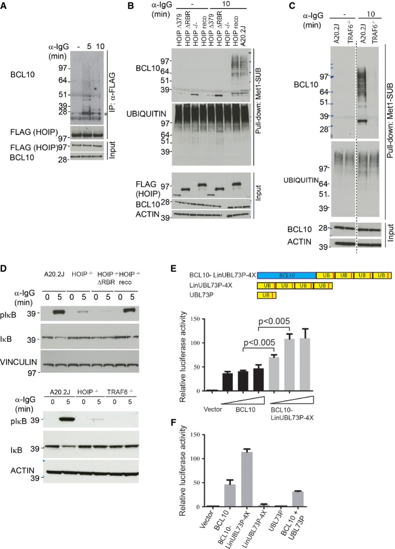 Functional analysis of BCL10 linear ubiquitylation A HOIP interacts with BCL10. A20.2J HOIP −/− cells reconstituted with the full-length FLAG-HOIP were stimulated with α-IgG for the indicated times, HOIP was immunoprecipitated with α-FLAG antibody, and the immunoprecipitates were immunostained with BCL10 antibody. The amounts of immunoprecipitated HOIP, and equal expression of FLAG-HOIP and BCL10 in whole-cell lysates used for the IPs, are shown in the lower blots. The asterisk indicates unmodified BCL10. B HOIP is required for BCL10 linear ubiquitylation. A20.2J, A20.2J HOIP −/− , and A20.2J HOIP −/− cells expressing the HOIP full-length or the indicated HOIP mutants were stimulated with α-IgG followed by Met1-SUB pull-down and immunoblotting as described in Fig 7A . C TRAF6 is required for BCL10 linear ubiquitylation. A20.2J wild-type and TRAF6 −/− cells were stimulated with α-IgG for 10 min, and linear ubiquitylated proteins were pulled down with Met1-SUB and immunoblotted with BCL10 and ubiquitin antibodies. Equal expression of BCL10 and actin was verified in the input material. D HOIP and TRAF6 function is important for BCR-induced IκB phosphorylation. A20.2J wild-type, HOIP −/− , TRAF6 −/− , and HOIP −/− cells expressing HOIP ΔRBR were stimulated with α-IgG for the indicated time points, and lysates were immunostained with pIκB and IκB antibodies. Actin and vinculin staining serves as loading control. E, F BCL10 linear ubiquitin fusion protein activates NF-κB. HEK293T cells were co-transfected with increasing amount (0.5, 1 or 2 μg) of BCL10, or BCL10-LinUBL73P-4X construct together with pNF-κB Luc and pRL-TK Renilla. NF-κB transcriptional activity was measured 24 h later using Dual-Glo® Luciferase Assay System (Promega). In (F), NF-κB transcriptional activity was measured in HEK293T cells co-transfected with 1 μg of the indicated plasmids. Error bars indicate mean ± SEM of 3 (E) or 2 (F) independent experiments. Statistical significance was determined by two-