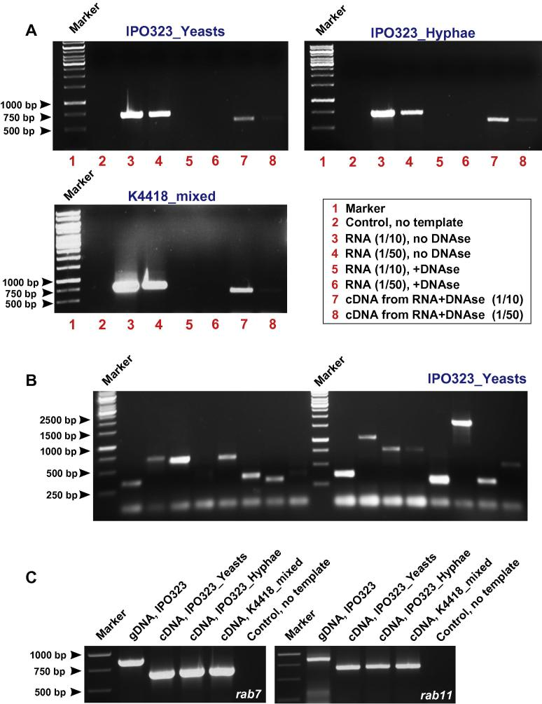 Agarose gels showing the outcome of control PCR experiments. (A) DNA fragments of 5′ end of the myosin chitin synthase 1 ( mcs1 ) were amplified using primers CC-125 and CC-117 (see  Table 1 ). In all three preparations, no PCR fragment was found in the absence of template (control), whereas strong bands of 707 bp appeared after PCR on total RNA preparations (lanes 3 and 4). These bands were not present when RNA which had been pre-treated with DNase I to remove contaminating genomic DNA (lanes 5 and 6). After transcribing this purified RNA into cDNA, PCR product of 585 bp appeared confirming the splicing of 122 bp predicted intron. The absence of 122 bp intron on the cDNA product was further confirmed by cDNA sequencing. Note that (1/10) and (1/50) indicate dilutions (1/10: 1 part RNA, 9 parts water; 1/50: 1 part RNA, 49 parts water). (B) Random amplification of yeast colonies with match maker PCR mix generated products with maximum sizes of 2000 bp in all three cDNA libraries (only IPO323_Yeasts shown). This suggests that entire open reading frames of proteins, up to ∼600–700 aa long, are represented in the library. Note that PCRs designed to amplify shorter fragments (585 bp and 1544 bp) of the chitin synthase gene  mcs1  (5568 bp without introns) still produced positive bands (see main text). This suggests that fragments of larger genes are also represented in the libraries. (C) Primers were designed to amplify the entire open reading frame of the small GTPases  rab7  (815 bp) and  rab11  (807 bp) (see  Table 1 ,  rab7 : primers SK-Sep-63 and SK-Sep-64;  rab11 : primers SK-Sep-65 and SK-Sep-66). Both open reading frames were amplified from genomic DNA of IPO323. Smaller fragments (615 bp and 633 bp) were found after PCR reactions using cDNA from all three preparations (IPO323_Yeasts, IPO323_Hyphae, K4418_mixed). This corresponds with the predicted presence of introns in both genes ( rab7 : 815 bp;  rab11 : 807 bp; see main text for more details) and further confirmed by DNA sequencing.